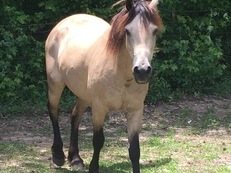 Pretty and Proven Welsh Cob Mare