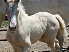 Outstanding Cremello filly