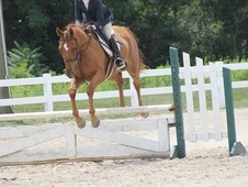 Atletic Hunter/Jumper gelding for Sale