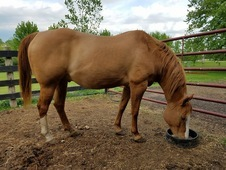 Stout Red Dun QH Appaloosa Gelding
