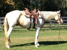 Price Reduced! 5 year old palomino paint gelding- great prospect-...