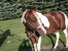 Breeders Trust APHA mare for sale