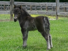 Tiny black weanling miniature colt for sale