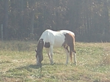 11yo double registered APHA/pinto gelding