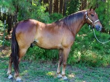 Very Stylish Seasoned Missouri Fox Trotter Trail Riding Gelding