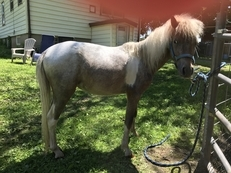 2yr. old Pintaloosa  mini