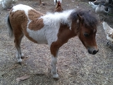Flashy small bay pinto colt