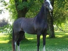 Gorgeous Blue Roan~ Wow She's A Dream!