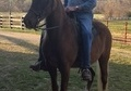 Excellant Trained Trail Horse