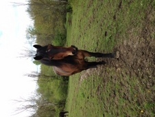 Handsome Draft Cross Gelding