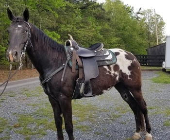 Registered wappaloosa mare