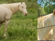 "*TWO for One!"" Two AQHA Blue-eyed Cremello mares - Champion Bloodlines!"
