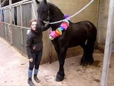 Trained friesian gelding for biginners