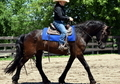 Friesian Gelding for sale or onsite lease