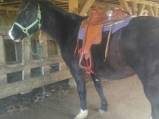 Handsome Quarter Horse/Arabian Cross 10yo Gelding