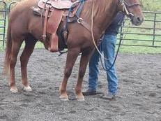 QH mare for anyone