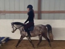 4yo Medium Welsh X Mare - Division Quality