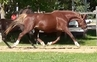 De Niro Grand-Daughter Broodmare -CDN$$ for sale in Canada