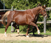 Warmblood for sale
