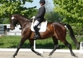 Champion Dressage Warmblood