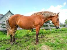Belgian Horse For Sale