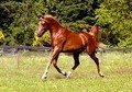 Arabian Performance horse for sale