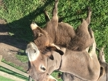 Donkey for sale | HorseClicks