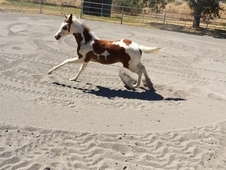 Tovero Registered Paint Foal