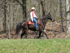 Super Nice Flashy Well Broke Black Walking Horse Mare