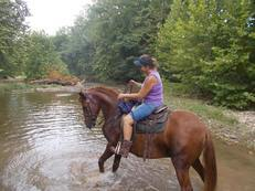 12 yr old 15 2 hh super gaited twh nice trail horse