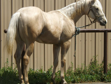 Palomino Colt by World Champion Skip Premiere