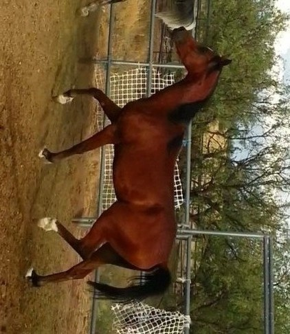 Tall and Pretty Arabian Gelding