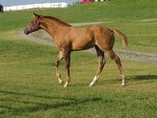 AQHA Red Dun Yearling Filly, 5 Panel N/N sired by NRHA money earner