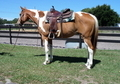He is as laid back as they come! Excellent beginner/Husband horse