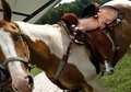 14 Year old APHA gelding Big, Fast, Sound, Sane!