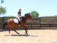Trained gelding, hunter jumper prospect in Reddick FL