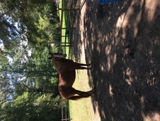 Big and dosile Belgian/Thourougbred Cross. Started under saddle, ...