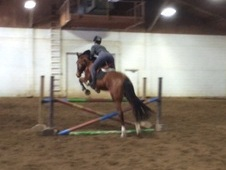 Fancy warmblood Gelding