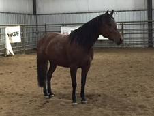 Half Andalusian mare - dressage prospect
