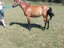 4 Year Old Dun Quarab Filly, don't miss out!