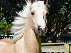 Half arabian palomino for rehoming