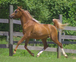 OMG!  Fabulous Flaxen!  Extreme-head Imperial Egyptian Stallion for sale in United States of America