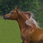 OMG!  Fabulous Flaxen!  Extreme-head Imperial Egyptian Stallion for sale