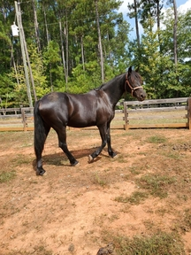 Friesian Mixed Mare