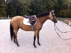 8 year old Lusitano/Arabian mare for sale