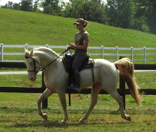 At Stud - Guaranteed buckskin or palomino foals