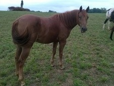 Nicely bred, big mare ready to start.
