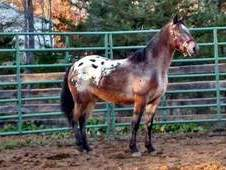 Beautiful POA mare