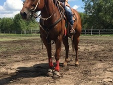 QH MARE FOR SALE OR TRADE