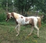 AT Stud:  Homozygous Tobiano Pinto 98.2% Arabian for sale in United States of America